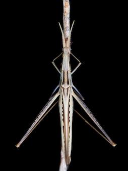 Cavalletta a forma di cono (acrida ungarica) durante la notte