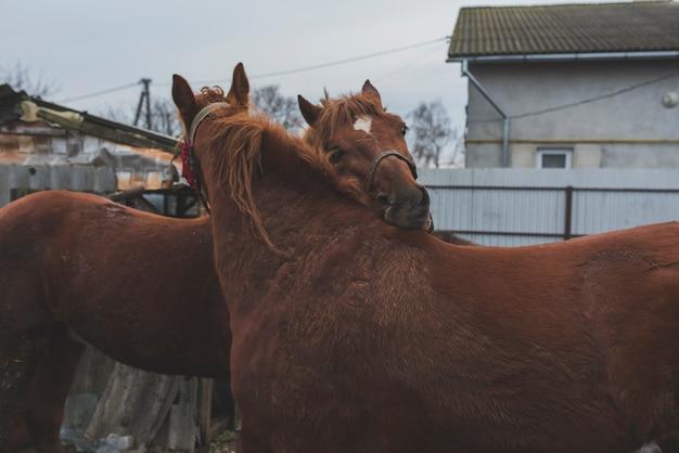 Cavalli che accarezzano in una fattoria