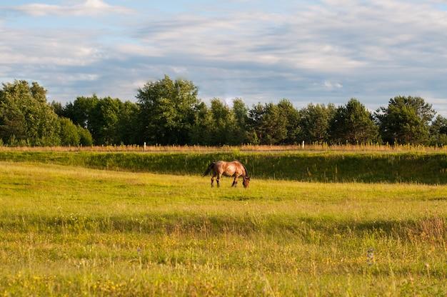 Cavalli di colore marrone che mangiano erbe sul prato