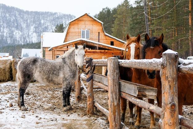 Cavalli in stalla