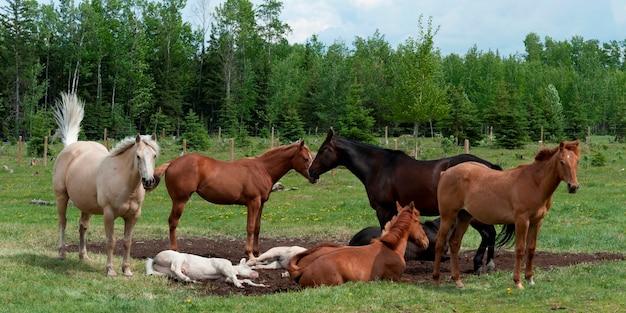 Cavalli in un ranch, alberta del nord, alberta, canada