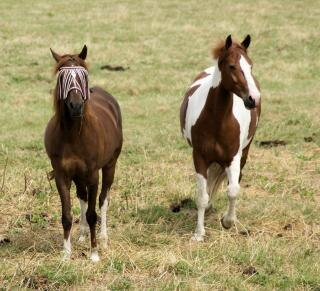 Cavalli nei paesi bassi, nera, cavallo