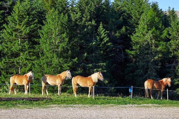 Cavalli nell'altopiano delle dolomiti