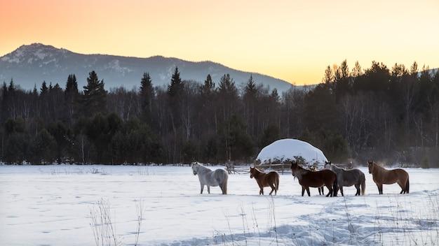 Cavalli nelle montagne degli urali.