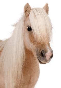 Cavallino di shetland del palomino, bianco di ione diritto di equus caballus isolato