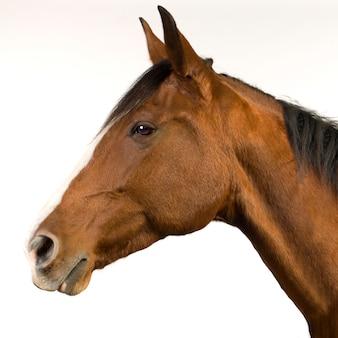 Cavallo (11 anni) su bianco