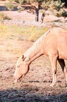Cavallo al pascolo su una terra asciutta a causa del caldo