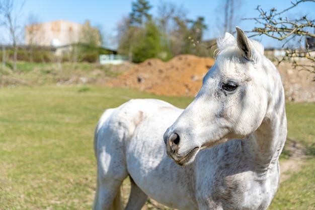 Cavallo bianco sul pascolo in fattoria in natura
