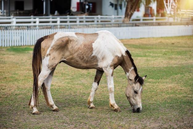 Cavallo che mangia erba