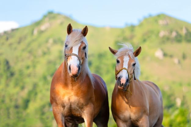 Cavallo e cavalla si amano