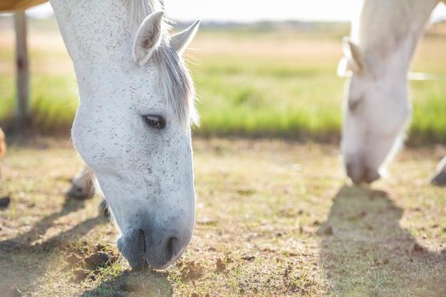 Cavallo grigio che pasce in un prato al tramonto con un altro cavallo