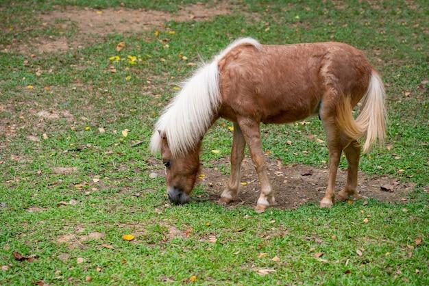 Cavallo in miniatura