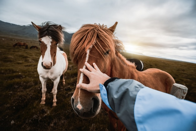 Cavallo islandese in natura scenica dell'islanda.