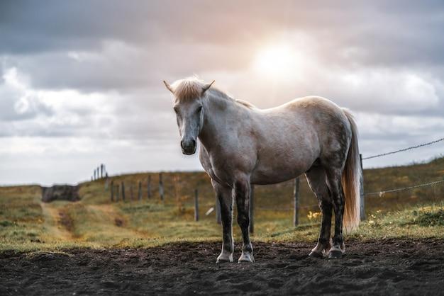Cavallo islandese nella natura