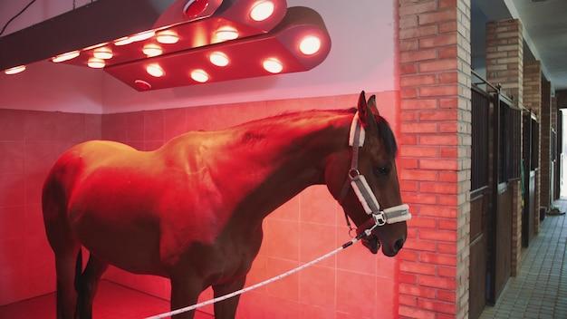 Cavallo sotto la lampada a infrarossi. cane della castagna che sta sotto la lampada infrarossa che ottiene abbronzatura e calore.