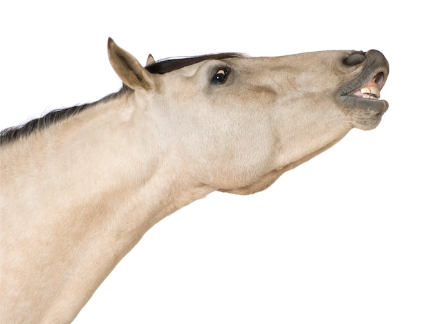 Cavallo su un bianco isolato