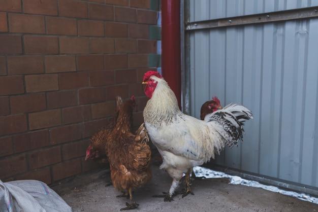 Cazzo e pollo nel cortile