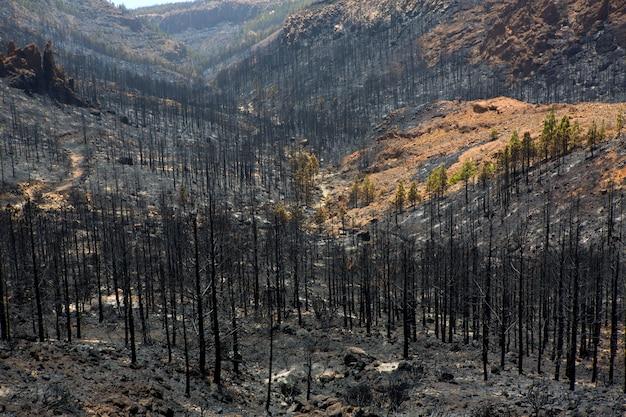 Ceneri nere di pino canarino dopo incendio boschivo a teide