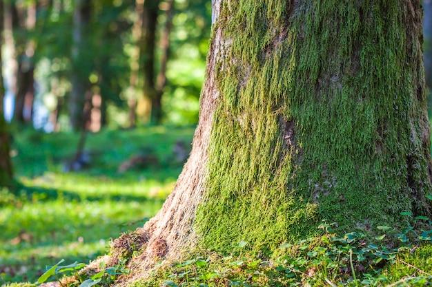 Ceppo con muschio nella foresta di autunno. vecchio ceppo di albero coperto di muschio nella foresta di conifere, bello paesaggio