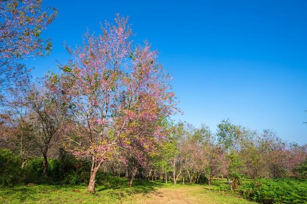 Cerasoides del prunus del fiore della ciliegia o ciliegia himalayana selvaggia, fiore gigante della tigre nel giardino con le montagne a phu lom lo in phetchaboon, tailandia.