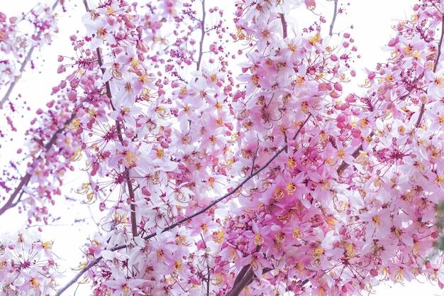 Cerasoides himalayani selvaggi della prunus della ciliegia che fioriscono sul fondo bianco