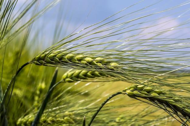 Cereale appanato sui precedenti del campo e del cielo blu