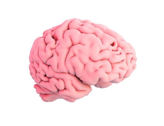Cervello umano isolato