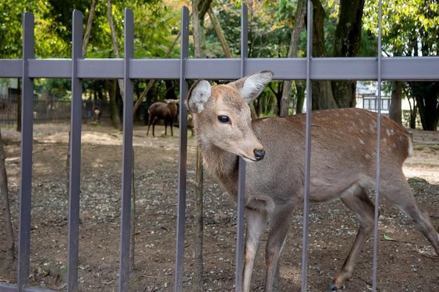 Cervi della bella natura nel parco di nara. concetto di viaggio del giappone
