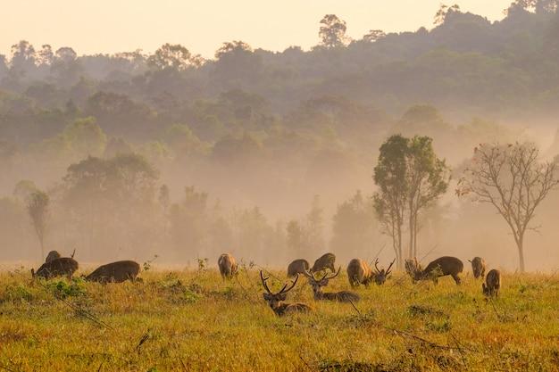 Cervi di tramonto della famiglia alla provincia di thung kramang chaiyaphum, tailandia