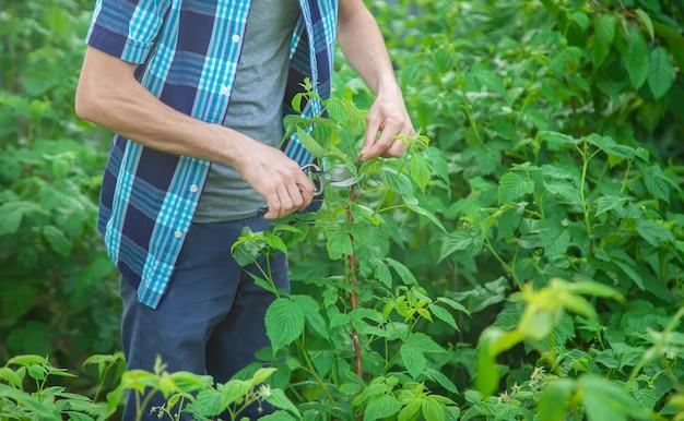 Cesoie per potatura di giardiniere. giardino.