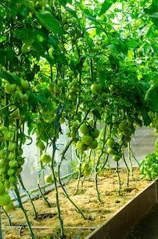 Cespugli di pomodoro con frutti verdi in serra.