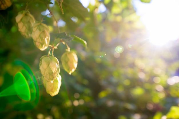 Cespugli verdi di luppolo in fiore alla luce del sole