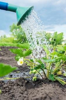 Cespuglio di fragole irrigazione