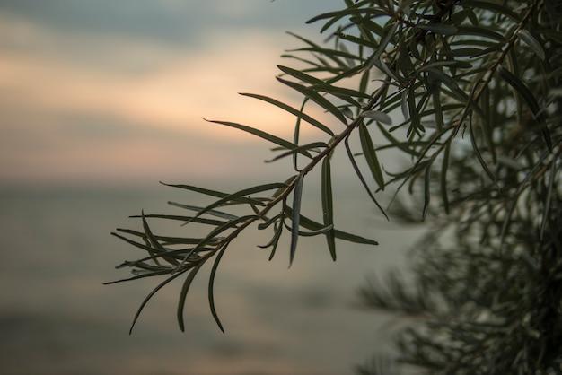 Cespuglio di olivello spinoso al tramonto sul mare. seabuckthorn