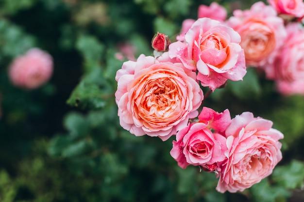 Cespuglio di rose rosa dopo la pioggia