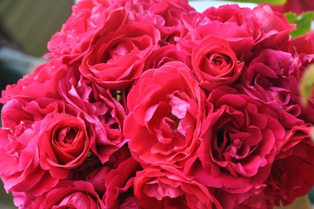 Cespuglio di rose rosse come fondo floreale nel giardino