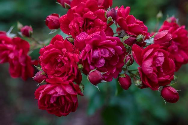 Cespuglio di rose rosse in giardino dopo la pioggia in gocce di pioggia