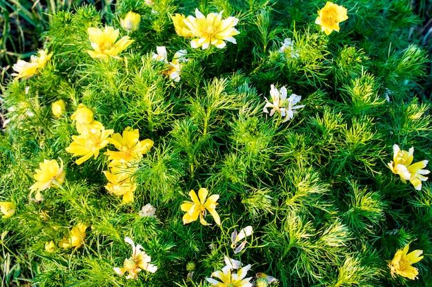 Cespuglio fiore campo giallo e bianco