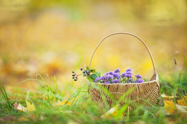 Cesto con fiori autunnali. un periodo autunnale. hrysanthemums viola in un cestino di vimini