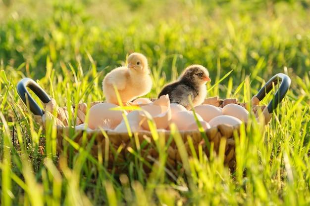 Cesto con uova con due piccoli polli appena nati