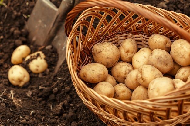 Cesto di patate novelle saporite fresche.