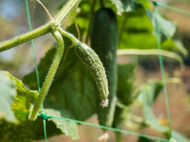 Cetriolo che cresce sulla pianta
