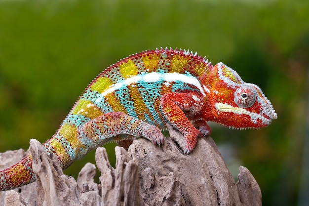 Chameleon di phanter