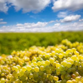 Chardonnay che raccoglie con la raccolta delle uve da vino