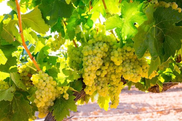 Chardonnay uve da vino in vigna pronte pronte per la vendemmia