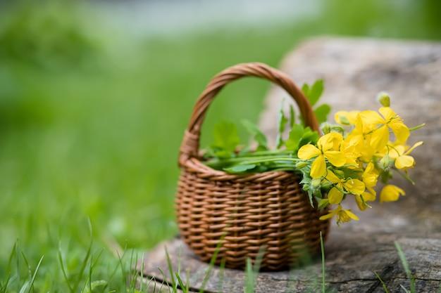 Chelidonium majus, celidonia maggiore, nipplewort, swallowwort o tetterwort fiori gialli in un cesto di vimini dalla vite