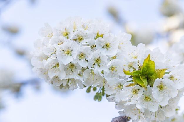 Cherry blossom bianco, soft focus.