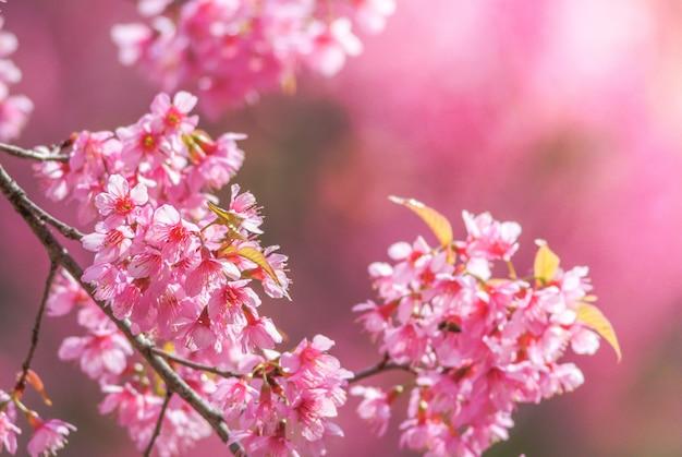 Cherry blossom in primavera con soft focus, unfocused offuscata primavera ciliegia fioritura