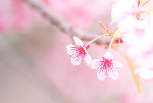 Cherry blossom in primavera con soft focus