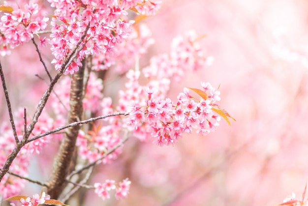 Cherry blossom in primavera con soft focus